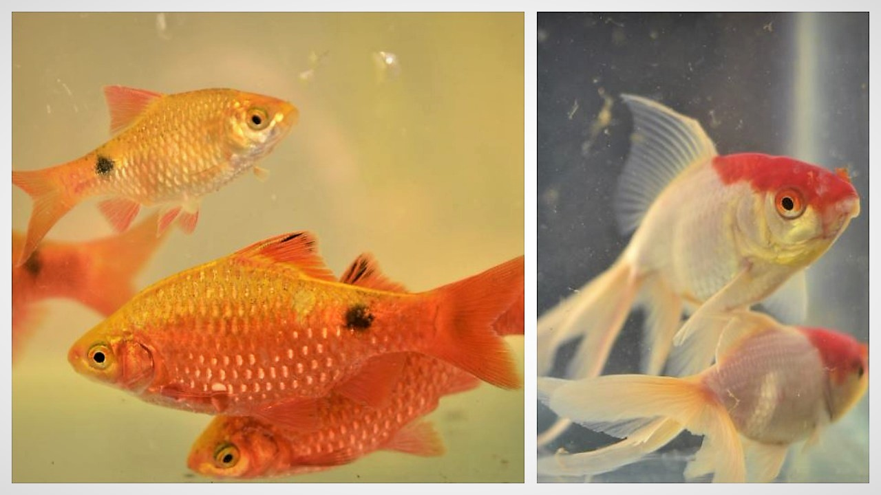 Ornamental Fish Farming Occupation Hobby And Practice An Overview