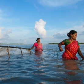 The Tiger Shrimp (Penaeus monodon) seedling is known as meen, and people who trap meen are known as meendhara. These fisherwomen scan the rivers of the Sundarbans mangroves with dragnets to catch the meen seedlings, working for long hours in a saline environment.