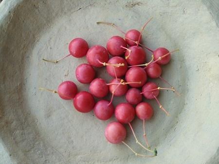 The Plants of the Thar Desert   Sahapedia