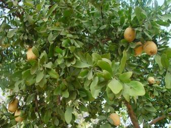 The Plants of the Thar Desert | Sahapedia