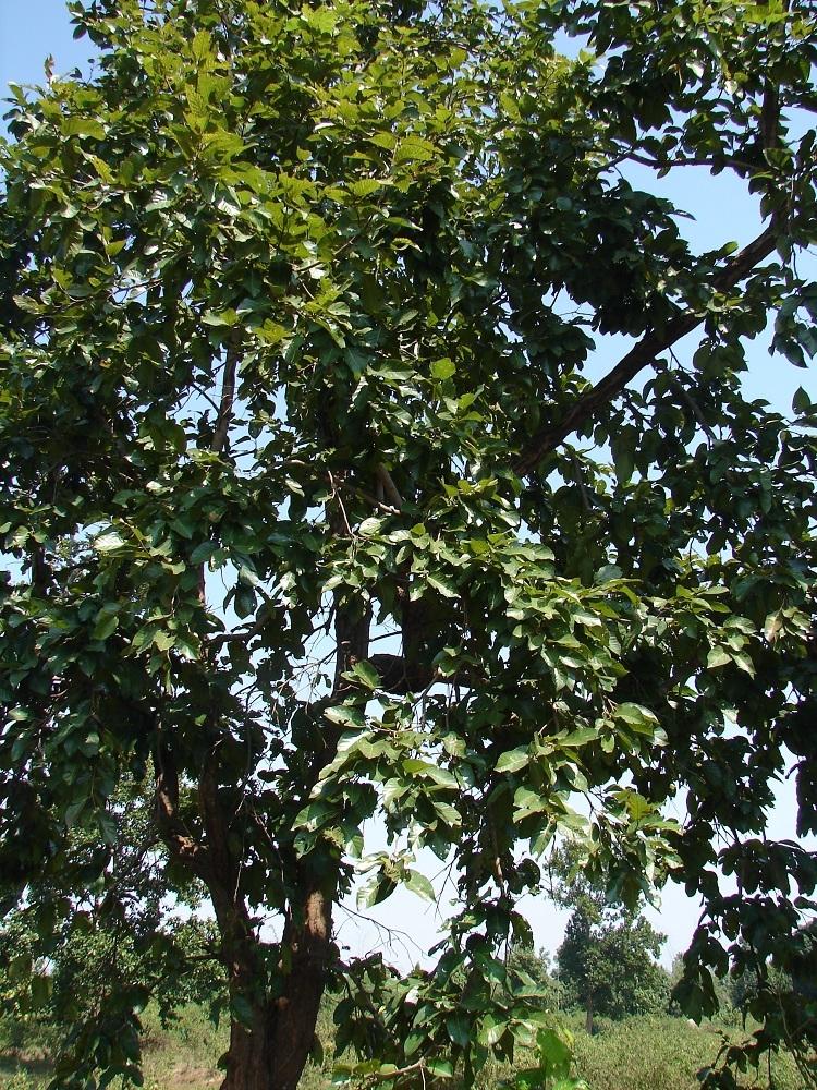 Sargi Tree