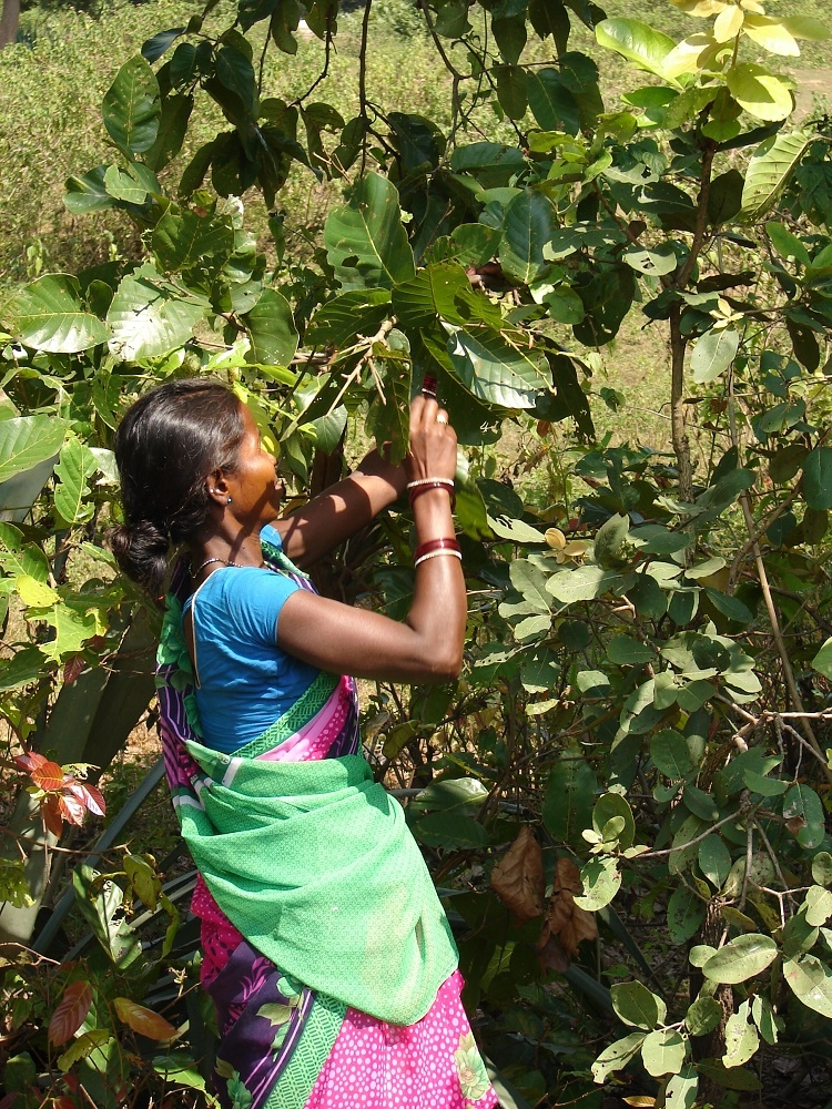 Woman plucking leaves from Sargi Tree