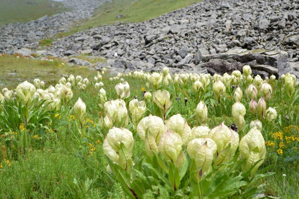 Fig.8.उच्च हिमालयी क्षेत्र में ब्रह्मकमल की नैसर्गिक वाटिका| सौजन्य:देवेंद्र नेगी एवं लक्ष्मण सिंह