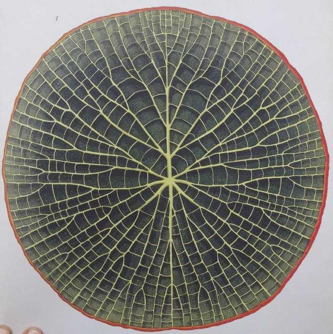 Amazon Water Lily, Botanicum, plant paintings, photo: The Tribune