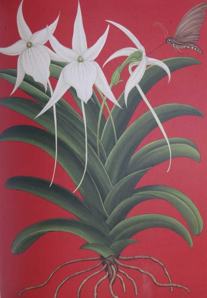 Christmas Star Orchid, Madagascar, BN Goswamy, Photo: The Tribune