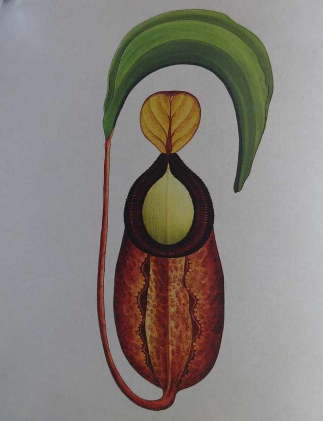 The 'Rajah Pitcher Plant' - Carnivorous plant that grows in Borneo; Photo: The Tribune