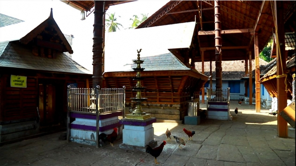 Roosters freely wandering about the Pazhayannur temple, Thrissur. Image Courtesy: Sudheer Kailas.