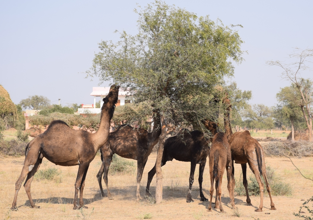khejri trees with camels, rajasthan, courtesy: Dr S Natesh