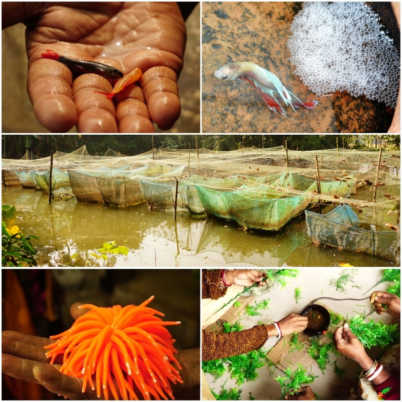 Ornamental Fish Farming and Trade in West Bengal | Sahapedia