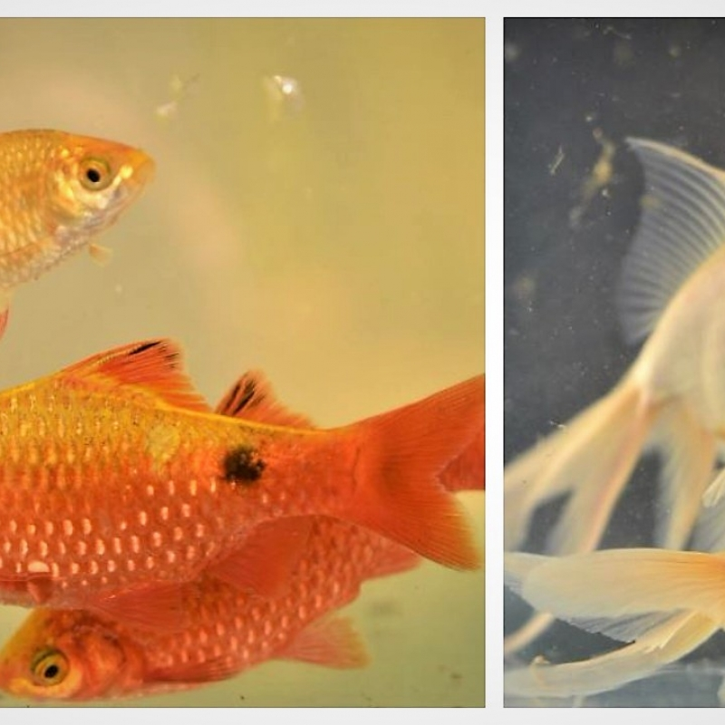 Ornamental Fish Farming-Occupation, Hobby and Practice: An Overview