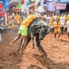 Man and bull locked in fight, Alanganallur, Jallikattu, 2017